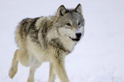 Vlk - ilustrační foto