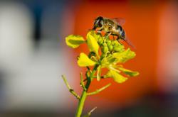 Pestřenka trubcová na květu řepky olejné 26. prosince 2015