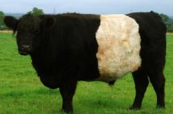 Kráva, ilustrační foto