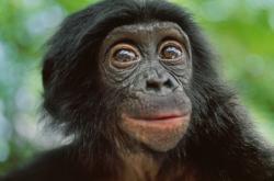 Šimpanz bonobo