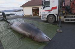 Vorvaňovec vyplavený v Norsku