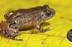 Nově objevená noční žába z Indie