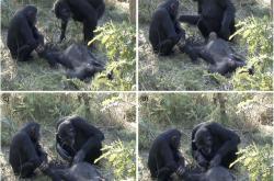 Smrt šimpanze