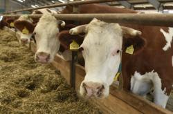 Hovězí dobytek