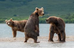 Medvědi v Rusku