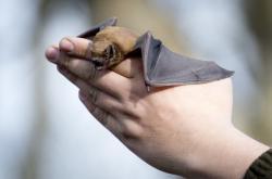 Vypouštění netopýra do volné přírody