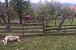 Ovce usmrcená medvědem