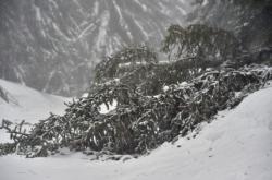 Padlý strom