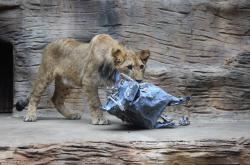 Mladý lev s maketou prasete bradavičnatého