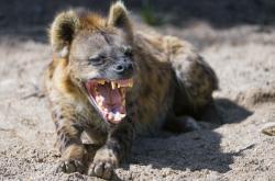 Hyena, ilustrační foto