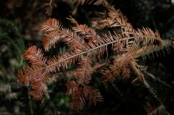 Uschlý strom ve Vogézách