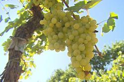 Z vinic se hrozny přesunou do vinných sklípků
