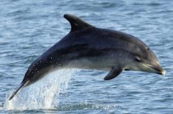 Delfín poblíž anglického pobřeží