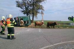 Býci zastavili provoz na silnici
