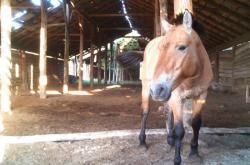 Kůň Převalského v Černobylu