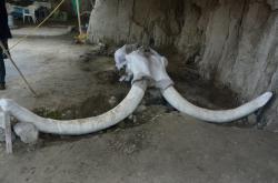 Mamutí lebka nalezená v Mexiku