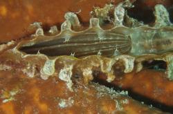 Kyjovka šupinatá