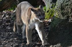 Ilustrační foto: Puma americká