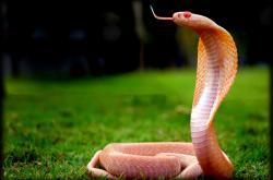Kobra indická, albínská forma
