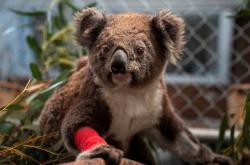 Zraněný koala při požárech