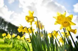 Na začátku února kvetou jarní rostliny i ve Walesu