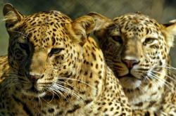 Levharti v Indii