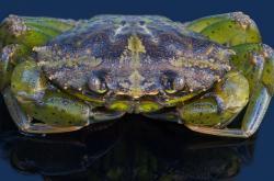 Krab pobřežní