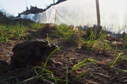 Migrující žáby u zábrany