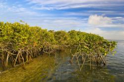 Mangrovy, ilustrační foto
