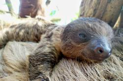 Mládě lenochoda na břiše matky