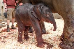 První fotografie narozeného slůněte v pražské zoo