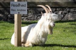 Běžně divoce žijící kozy využily liduprázdných ulic a vydaly se pást na městské trávníky
