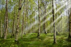 Březový les, ilustrační foto