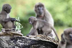 Dželady hnědé ve zlínské zoo