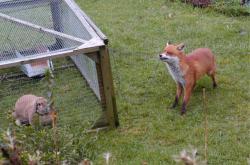 """Městská liška na """"lovu králíků"""""""