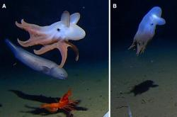 Chobotnice Grimpoteuthis