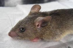Krysa mnohobradavkovitá