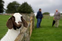 Princ Charles podporuje britské farmy, které se zaměřuí na chov původních plemen