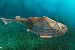 Pancéřnatá ryba, ilustrační foto