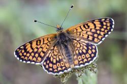 Hnědásek kostkovaný patří mezi nejprozkoumanější evropské motýly  po stránce populační ekologie, vztahu k živným rostlinám, biotopových nároků, dynamiky parazitů a parazitoidů atd. Je rovněž modelovým druhem pro studium metapopulační  dy