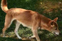 Dingo pralesní