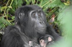 Gorilí matka s mládětem v Ugandě