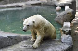 Nový výběh ledních medvědů v Zoo Brno