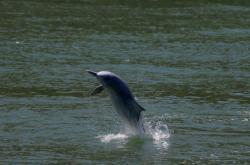 Do vod u Hongkongu se vracejí delfíni