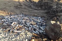 Uhynulé ryby z řeky Bečvy