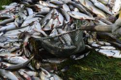 Uhynulé ryby po úniku kyanidu do řeky Bečvy