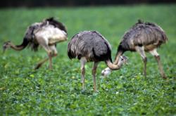 Přemnožení nanduové v Německu