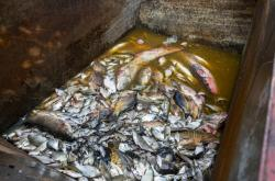 Mrtvé ryby z Farského nádrže