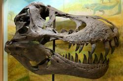 Lebka Tyranosaura rexe, jemuž se říká Stan