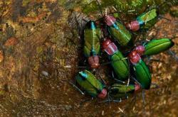 Eusociální švábi